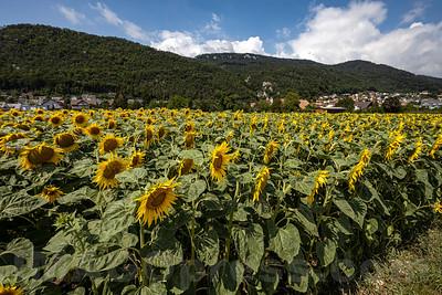 Sonnenblumenfeld in 4622 Egerkingen © Patrick Lüthy/IMAGOpress