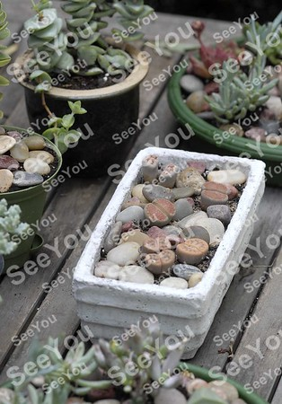 -Messenger photo by Hans Madsen<br /> <br /> Karen Johnson has a wide variety of succelents in her garden including a planter full of Lithops which are also known as living stones or living rocks since they look much like the pebbles around them.