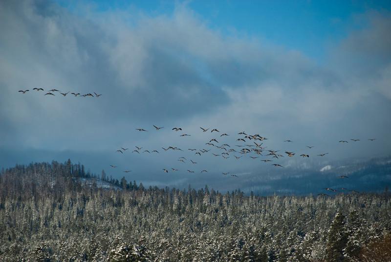 geese_DSC0587