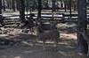 deer_DSC3776