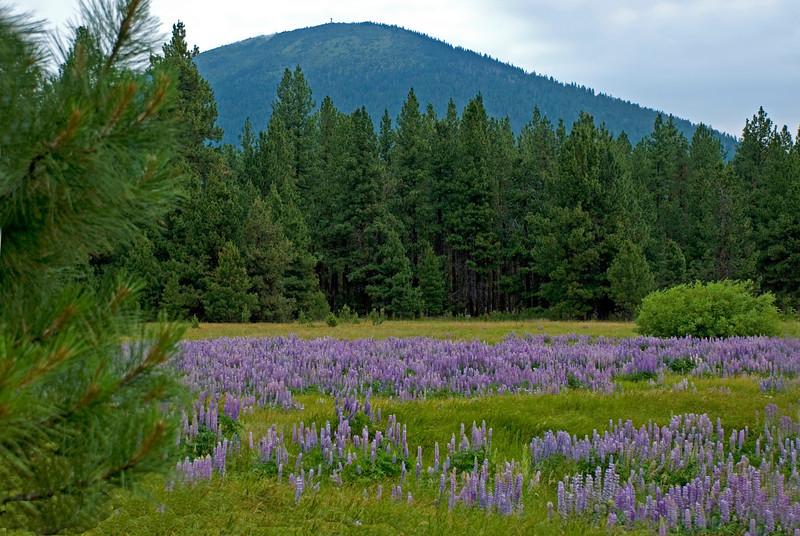 BBR-View-Black Butte+lupine-KateThomasKeown_DSC2277