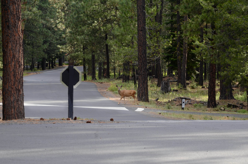 deer-in-crosswalk_KTK6072