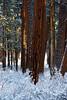 Winter-ponderosa-KateThomasKeownDSC0116