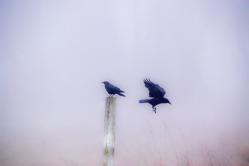 Crows In A Fog