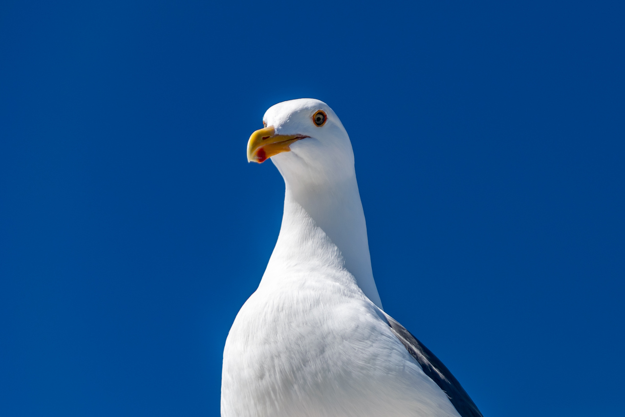 Jonathan Livingston Seagull