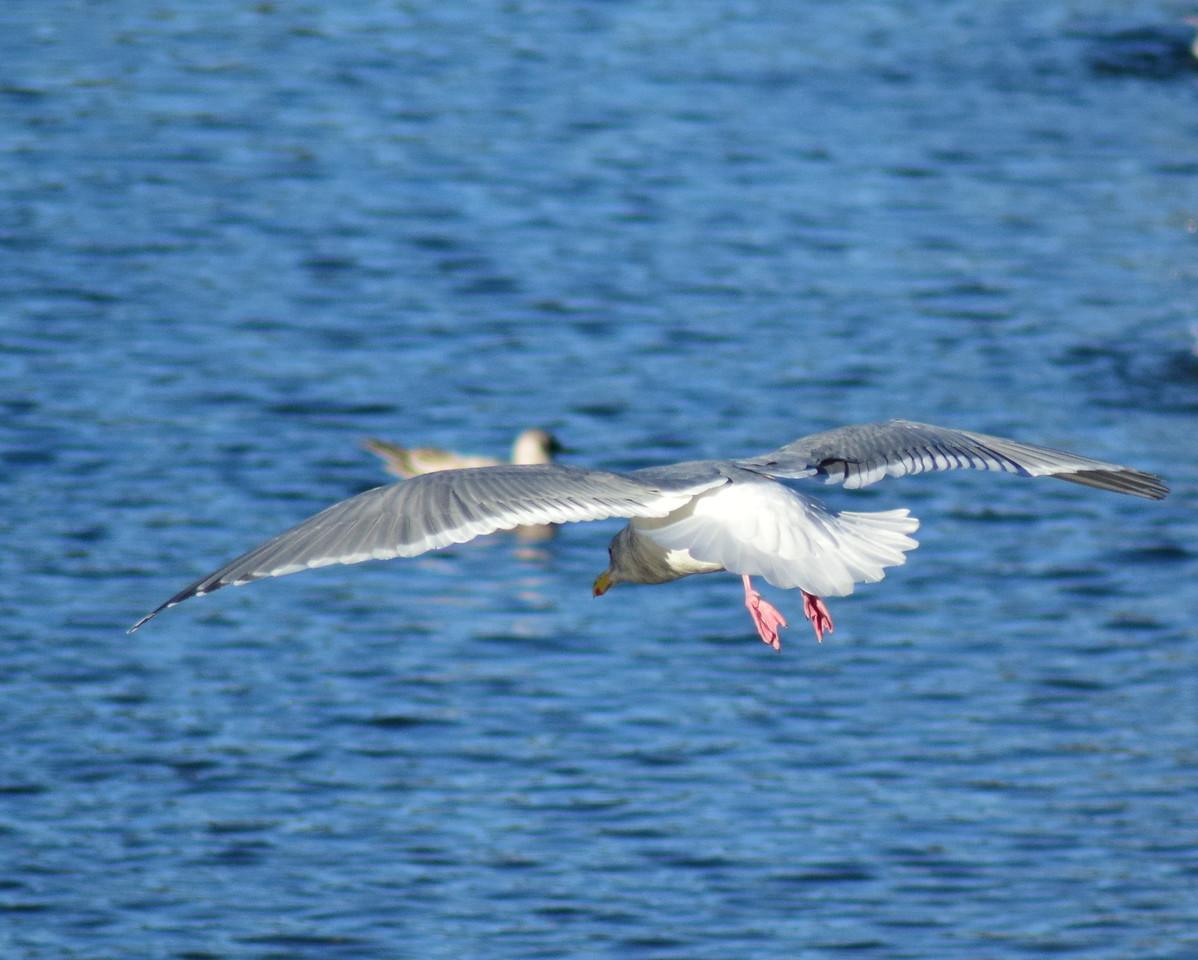 Herring Gull On Final