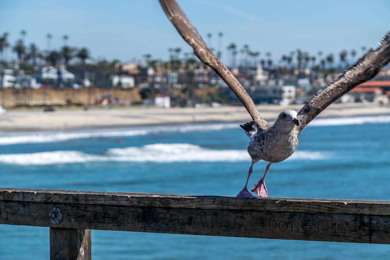 Juvenile Gull Take Off