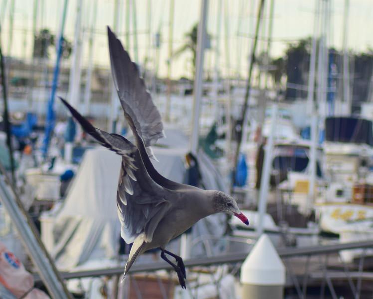 Heermann's Gull Landing