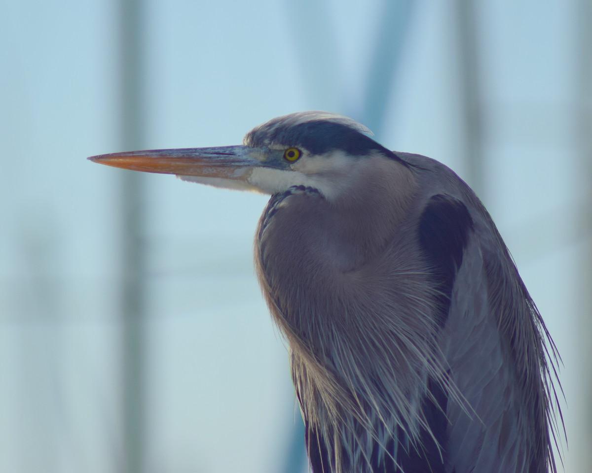 Blue Heron
