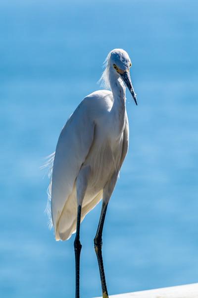 SoCal Egret