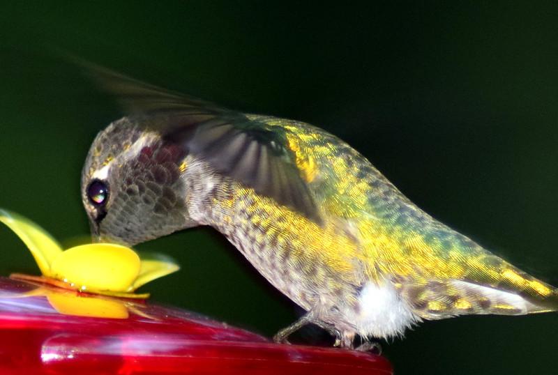 Anna's Hummingbird sipping nectar