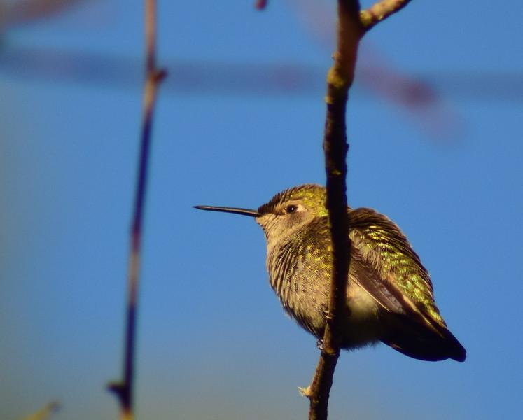 Fluffed Anna's Hummingbird