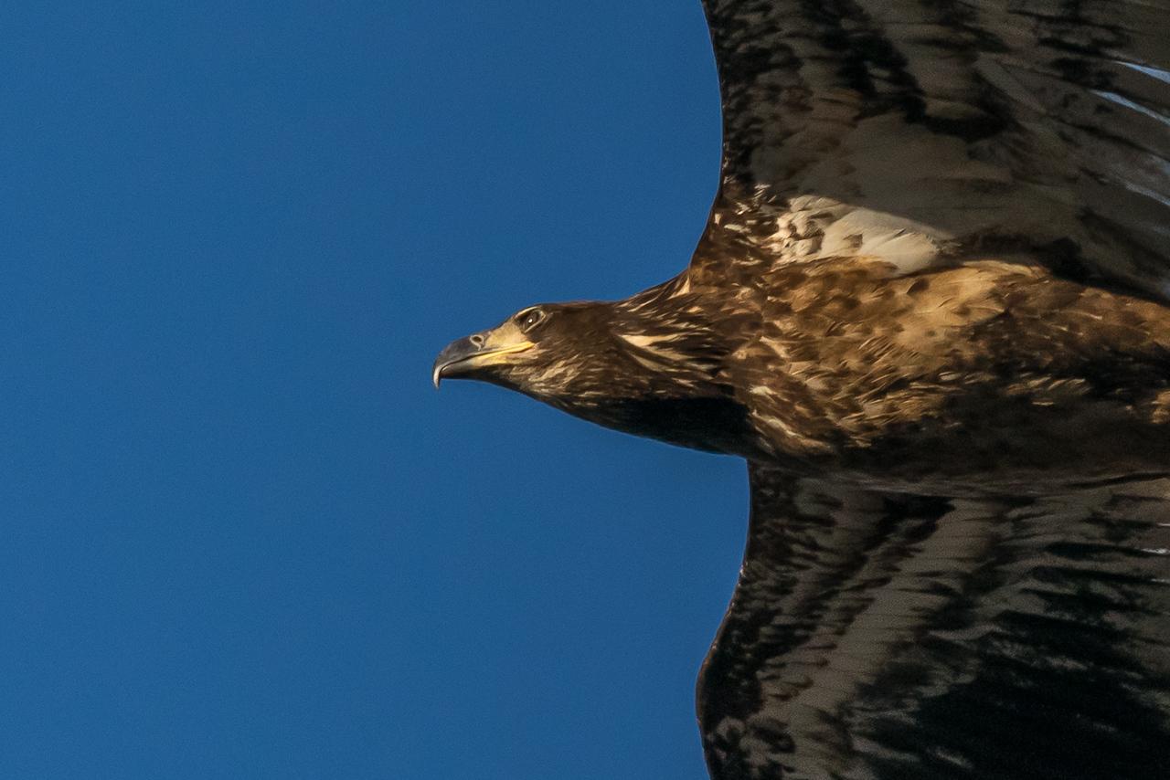 Juvenile Eagle Overhead