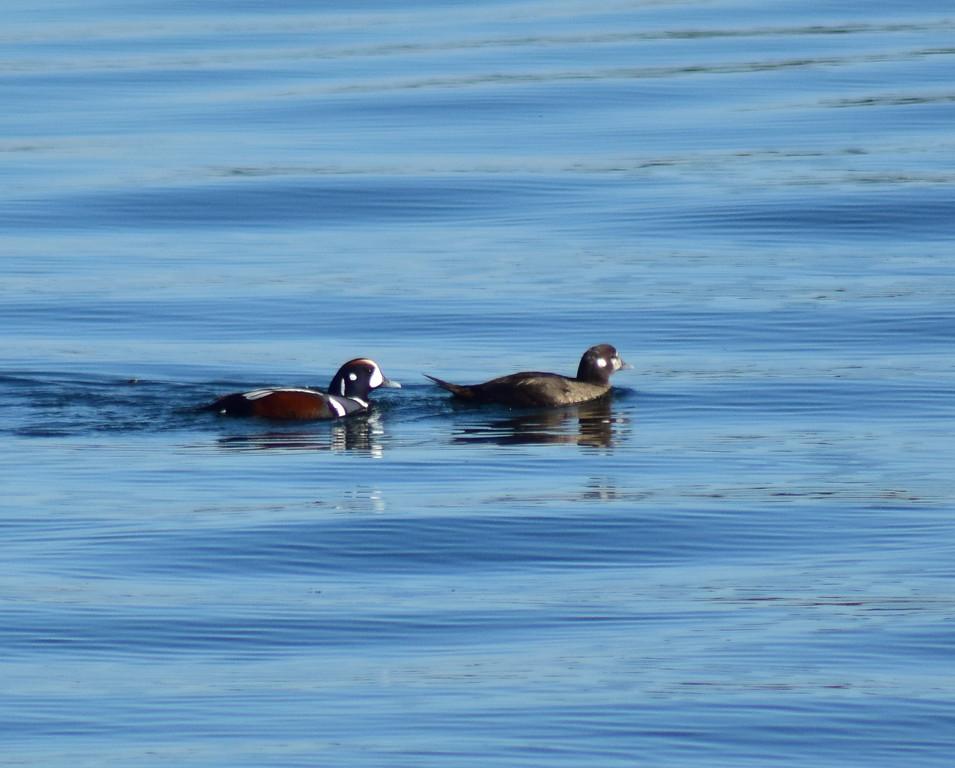 Harlequin Duck Pair