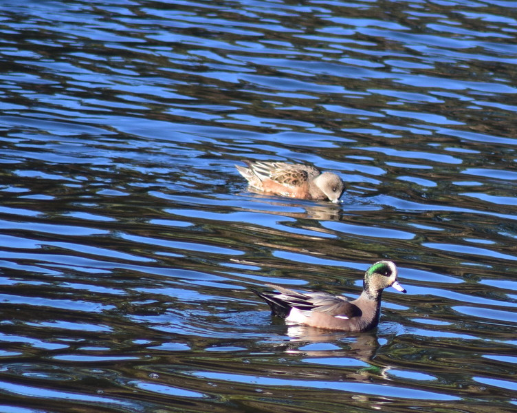 American Widgeon Pair