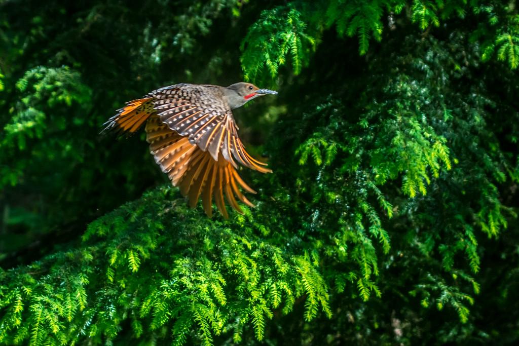 Mr Flicker Fly By