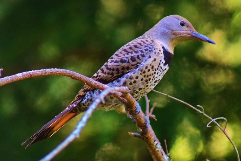 Northern Red-shafted Female Flicker