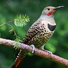 Northern Red-shafted Flicker Male