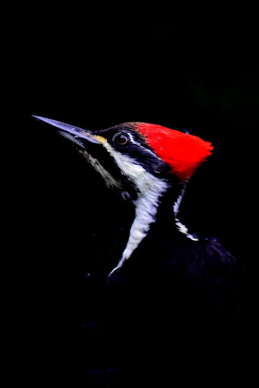 Pileated Portrait