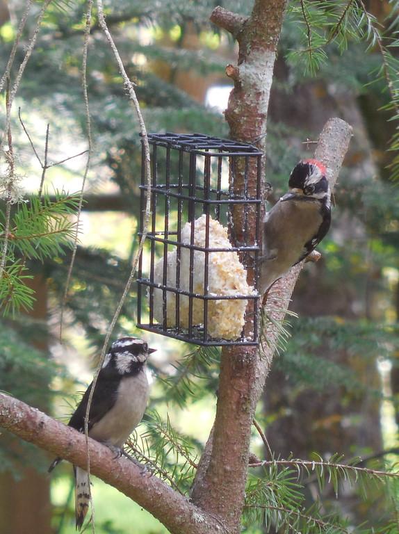Downy Woodpecker couple