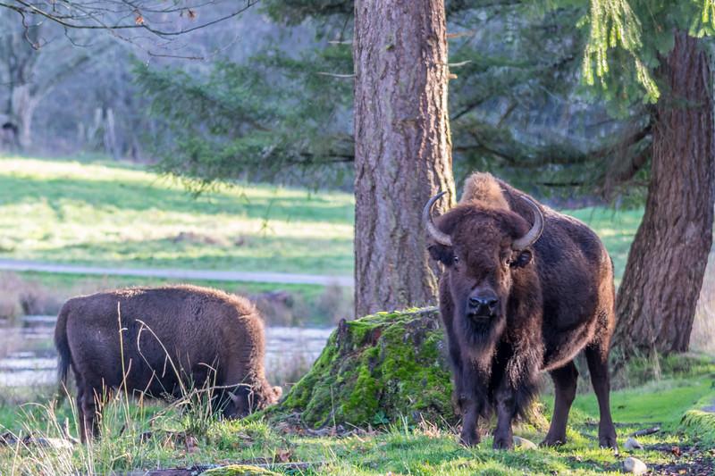 Bison Look