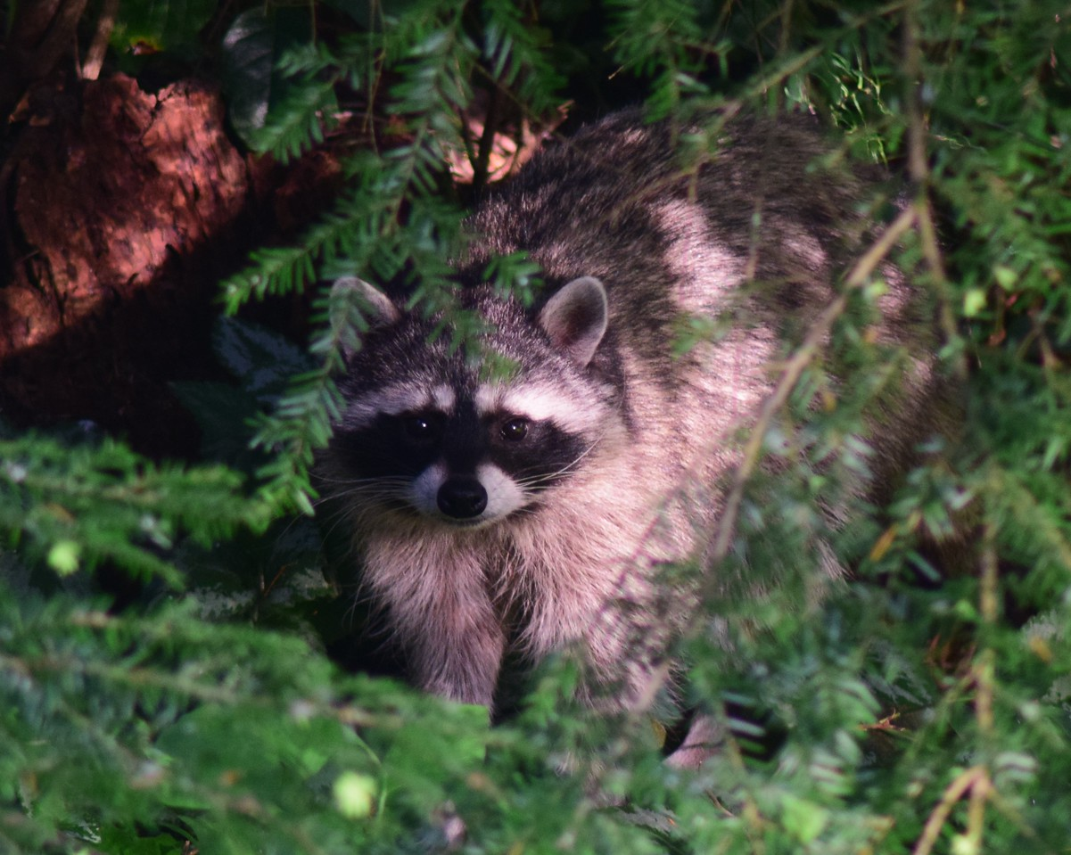 Raccoon under Western Hemlock
