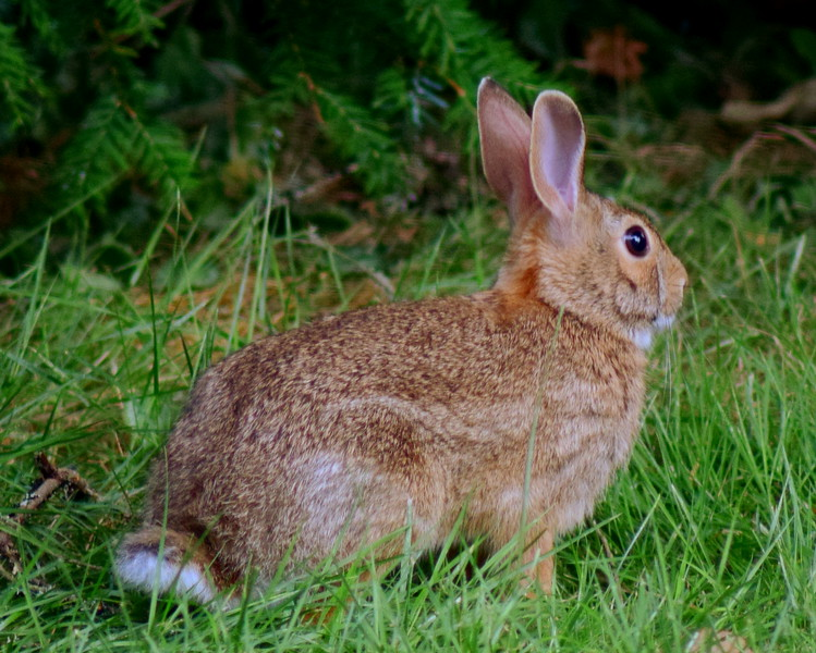 Western Cottontail Rabbit