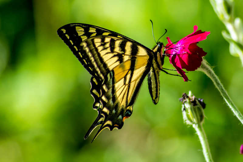 Oregon Swallowtail Butterfly On Flower