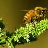 honey bee up close mint