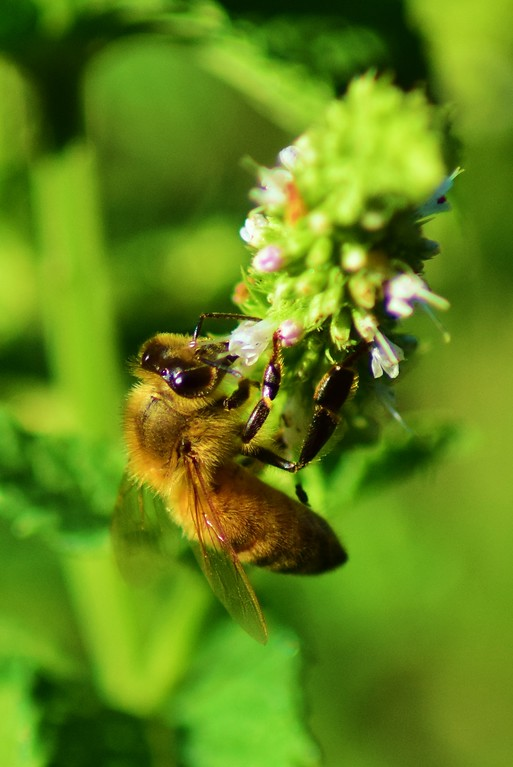 Honeybee enjoys mint