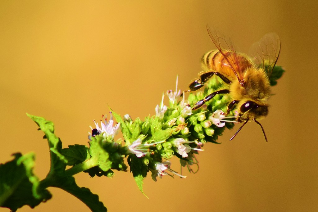 Honeybee Foraging