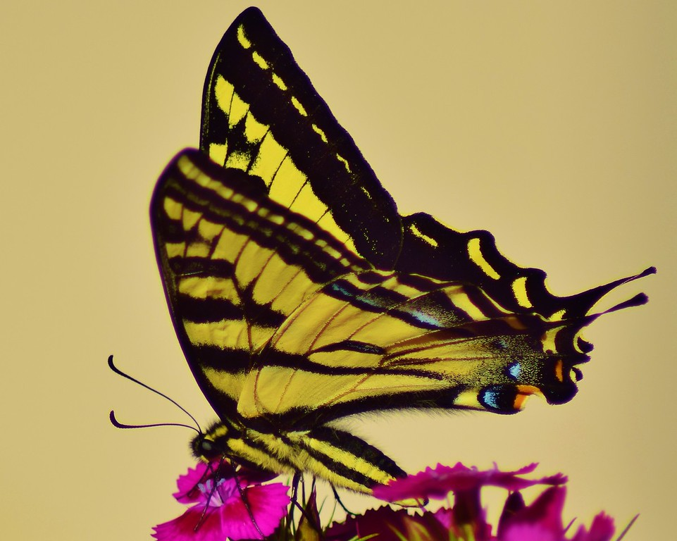 Oregon Swallowtail Butterfly
