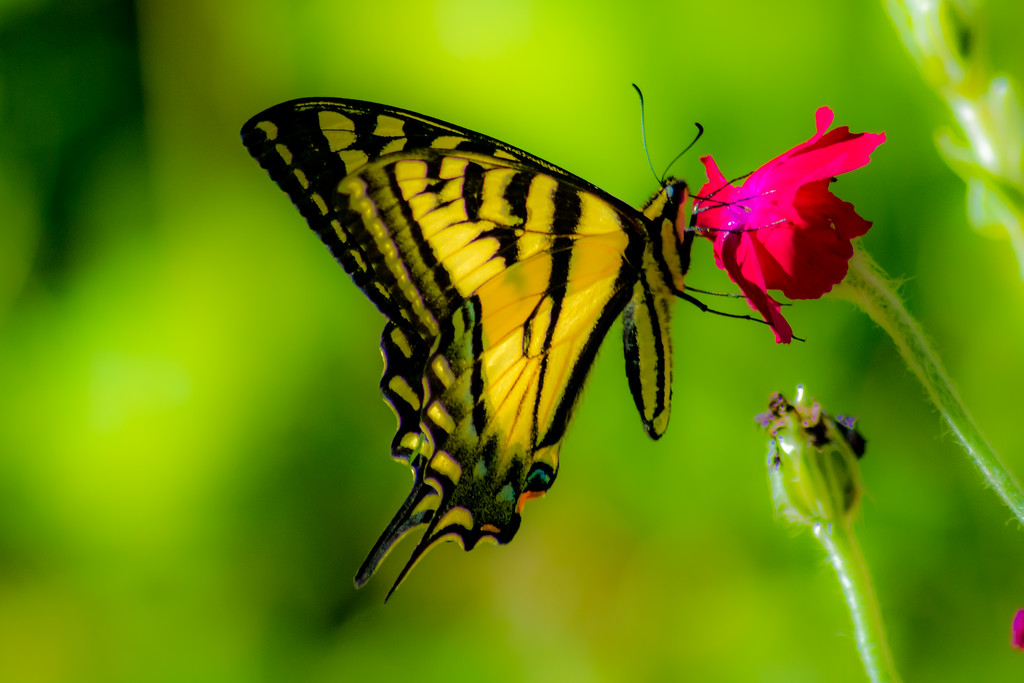 Oregon Swallowtail Butterfly Softened