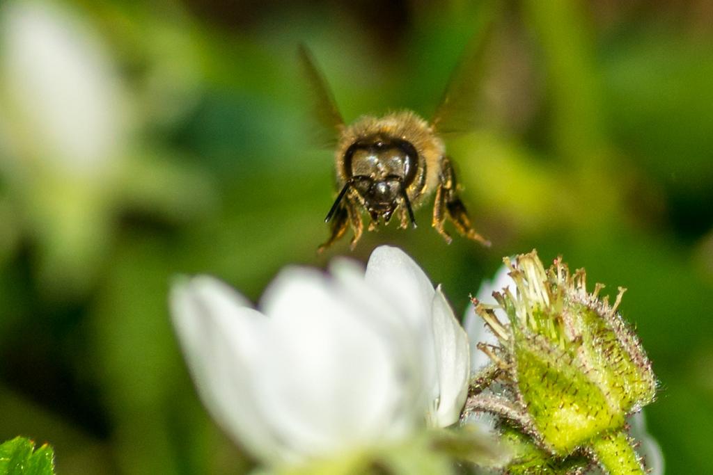 Honeybee Landing
