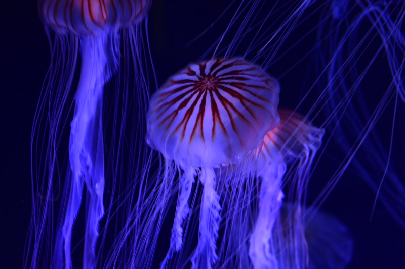 Jellyfish Colors