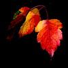 Fall Hawthorne Leaves