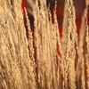 HP Grasses #2 2015