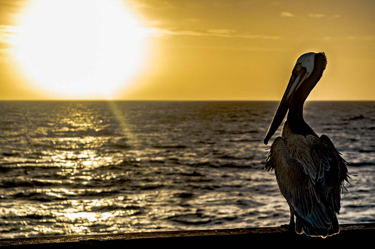 Sunset and Pelican