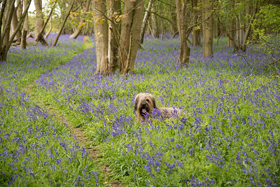 Briard dog in bluebells