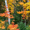 Curved Birch Tree and  Fall Color