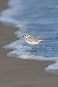 Piping Plover Female San Luis Pass TX