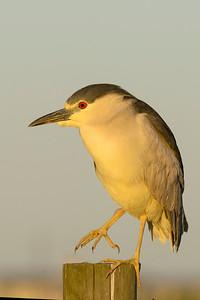 Yellow-crowned Night-heron Galveston TX