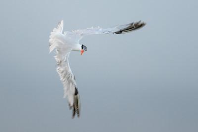 Caspian Tern in Molt Galveston State Park, TX