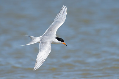 Forster's Tern Galveston State Park