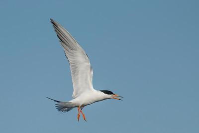 Forster's Tern Freeport TX