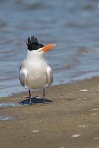 Royal Tern San Luis Pass TX