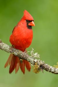 Northern Cardinal  Sugar Land TX