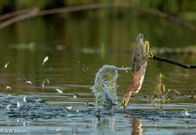 Green Heron Fishing Taken from Kayak Armand Bayou / Horsepen Bayou Houston. TX