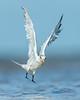 Royal Tern Lift Off