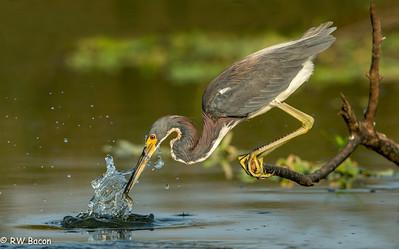 Tri-colored Heron Fishing Taken from Kayak Armand Bayou / Horsepen Bayou Houston, TX